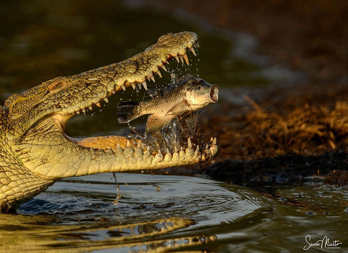 Nile Crocodile Sue Musto